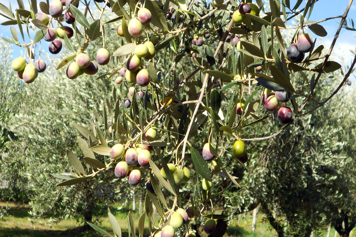 Olio extravergine bio dop Sicilia