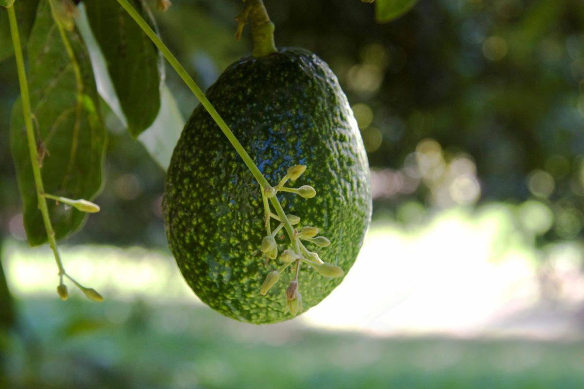 avocado in sicilia