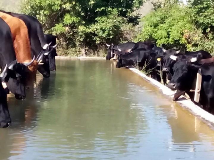 premio per la vacca cinisara