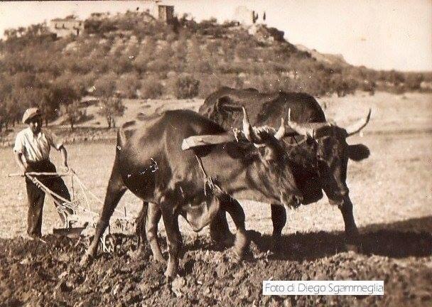 Vacca Cinisara fenomeno Social