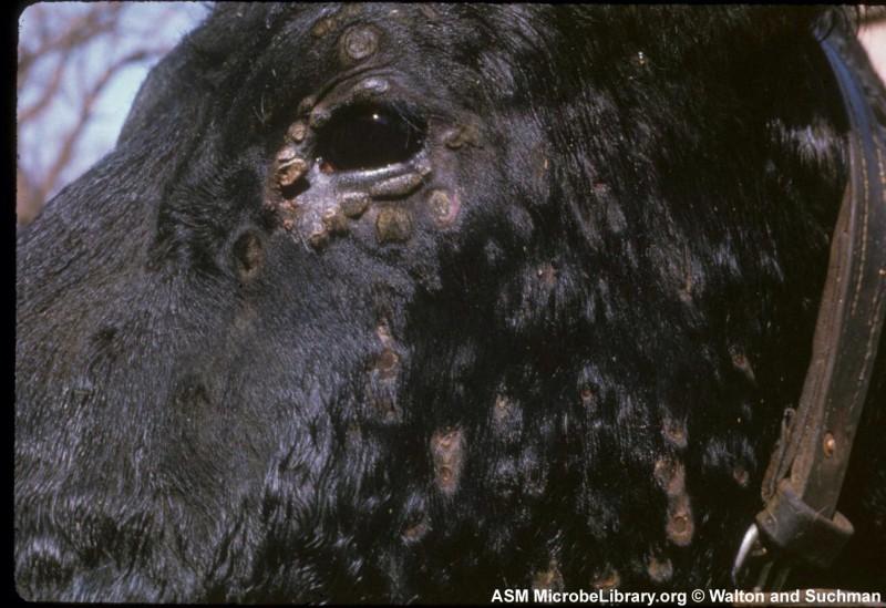 Lumpy Skin epidemia bovini