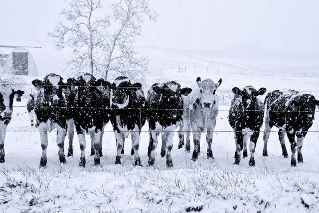 (terremoto) mucche_animali in pericolo